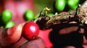 Äthiopien ist das Ursprungsland des Kaffees. Dies hier sind Kaffeekirschen - in ihnen steckt die Kaffeebohne. (Quelle: Christoph Engel)