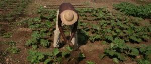 Ein Mann arbeitet auf einem Gemüsefeld. (Quelle: Hildegard Peters)