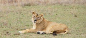 Eine Löwin. (Quelle: Jonchwalker-Wikimedia-commons)