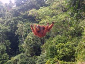 Ein Orang Utan turnt an einem Seil herum. (Quelle: Wikimedia Commons/Tbachner)