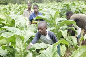Jungen arbeiten auf einer Tabakplantage. (Quelle: Christian Herrmanny)