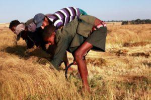 Jungen arbeiten tief gebückt auf einem Getreidefeld. (Quelle: Christian Herrmanny)