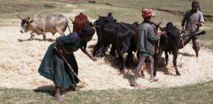 Tafari arbeitet mit ein paar Ochsen auf einem Dreschplatz. (Quelle: Christian Herrmanny)