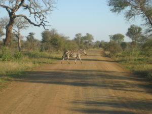 Krüger Nationalpark: Ein Zebra läuft über die Straße. (Quelle: Maccoinnich/Wikimedia Commons)