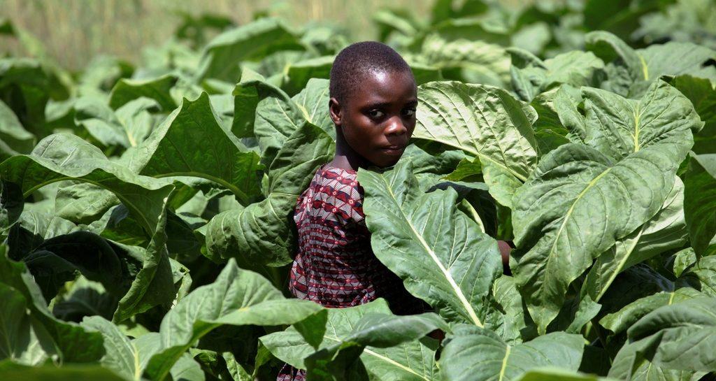 Leyla inmitten von giftigen Tabakpflanzen. (Quelle: Christian Herrmanny)