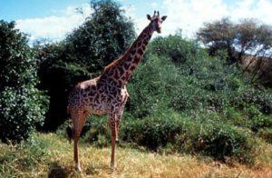 Eine Giraffe. (Quelle: Imke Häusler)