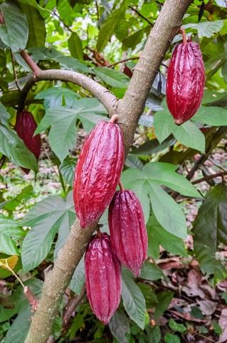 Ein Baum mit Kakaofrüchten. (Quelle: iStock)