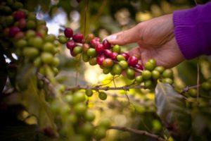 Kaffeekirschen. In der Mitte einer Kirsche steckt die Kaffeebohne. (Quelle: Jakob Studnar)